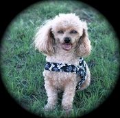 Bones and Paws Light weight Dog Harness, Collar, Leash, Lead, with a optional ruffle. Crafted and produced in the USA