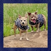 Blues Clues Harness - Custom Easy-On designer dog harnesses made with a ruffle or with out ruffles